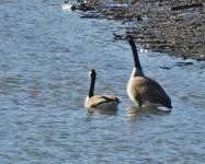 Canada Geese  [g37b.jpg uploaded 29 Apr 2018]